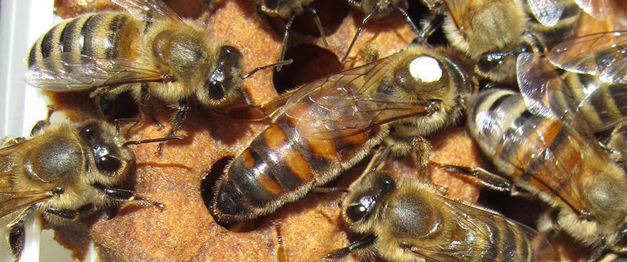 Queen at Tuckamore Bee Company